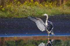 Great Blue Heron Landing in Shallow Water Royalty Free Stock Photography