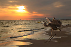 Great Blue Heron Lands on the Beach as the Sun Sets Stock Photos