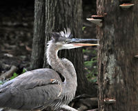 Great Blue heron by tree Stock Photos