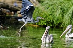 Great blue heron is a large wading bird, common near the shores of open water and in wetlands over most of North America. And Central America, as well as the royalty free stock photography