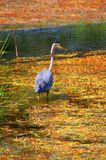 Great Blue Heron. The great blue heron is a large wading bird in the heron family Ardeidae, common near the shores of open water and in wetlands over most of royalty free stock images