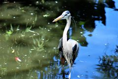 Great Blue Heron Large Wading Bird. Located in Phoenix, Arizona, United States stock photos