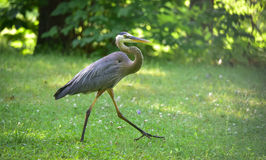 Great blue heron.  Large wading bird in heron family Ardeidae. Royalty Free Stock Images