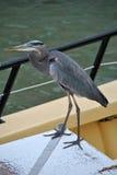 Great blue heron. Latin name ardea herodias on a boat Royalty Free Stock Image