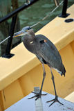 Great blue heron. Latin name ardea herodias perched on a boat Stock Images