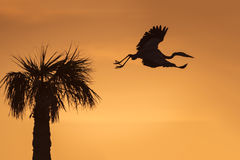 Great Blue Heron Leaving its Nest at Sunrise - Florida Stock Photo