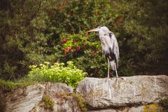 Great Blue Heron - left profile Stock Image