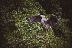 Great Blue Heron - left profile Stock Photography