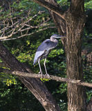 Great Blue Heron on a Limb Stock Image