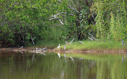 Great Blue Heron and little Egret Royalty Free Stock Photography