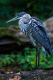 Great blue heron log Stock Photos