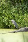Great blue heron on log stock images