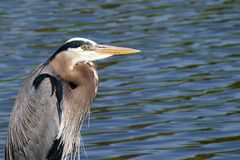 Great Blue Heron Looking for Fish. Closeup, side view with Water in the background Stock Photos