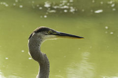 A Great Blue Heron looking for food Stock Photo