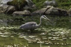 A Great Blue Heron looking for food Royalty Free Stock Images