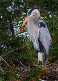 Great blue heron looks annoyed Royalty Free Stock Images