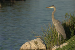 Great Blue Heron looks for last catch of the day Royalty Free Stock Photo