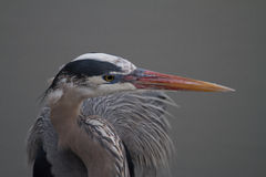 Great blue heron looks right in profile Royalty Free Stock Photo