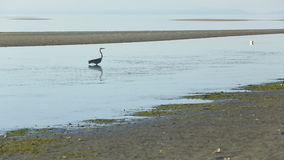 Great Blue Heron Low Tide stock footage