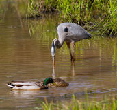 Great Blue Heron and Mallard Ducks Stock Image