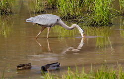 Great Blue Heron and Mallard Ducks Royalty Free Stock Photos