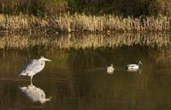 Great Blue Heron & Mallards Stock Photography