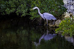 Great Blue Heron. In a mangrove with reflection in the water stock photos
