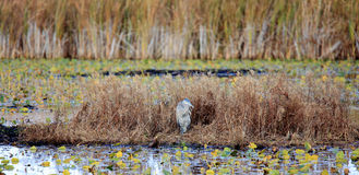 Great Blue Heron in a marsh in autumn Royalty Free Stock Photo