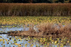 Great Blue Heron in a marsh in autumn Stock Photo