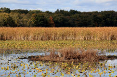 Great Blue Heron in a marsh in autumn Royalty Free Stock Photography