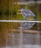 Great Blue Heron Marsh Reflection. Stock Images