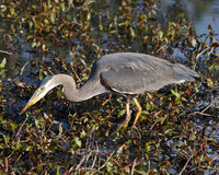 Great Blue Heron in the marsh Royalty Free Stock Image