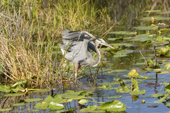 Great Blue Heron in a Marshland Royalty Free Stock Photo