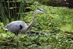 Great Blue Heron. In marshlands. Photographed at Wakodahatchee Wetlands, Delray Beach, Florida Royalty Free Stock Photo