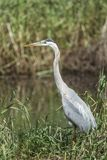 Great blue heron at Mica Bay. Royalty Free Stock Image