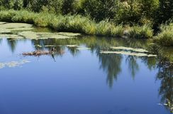Heron on lake. Great blue heron in middle of a peaceful blue pond with reflections Royalty Free Stock Photos