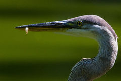 Great blue heron minnow Stock Images