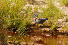 Great Blue Heron on the morning hunt, Indiana Dune, USA. Great Blue Heron closely following the prey, Indiana Dune, USA Royalty Free Stock Photo