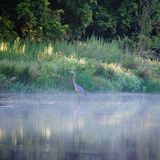 Great Blue Heron in the Morning Mist. Great Blue Heron in the morning light with mist rising from the water on Sanders Lake, Piney Creek, Bastrop Texas Stock Photo