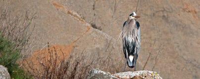 Great Blue Heron at Morro Bay on the Central California coastline stock photo