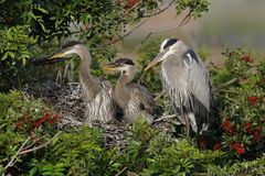 Great Blue Heron mother with two offspring in her nest - Florida. Great Blue Heron mother Ardea herodias with two offspring in a nest in a Brazilian Pepper Tree Royalty Free Stock Photography