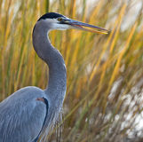 Great blue heron with mouth open Stock Photography