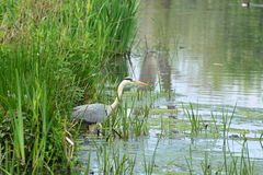 Great blue heron in nature reserve Bourgoyen Stock Photography