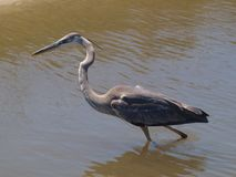 Great Blue Heron. A Great Blue Heron near Dauphin Island, Alabama Stock Photos