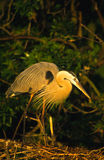 Great Blue Heron on Nest Stock Image
