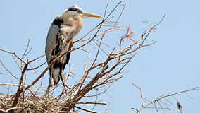 Great Blue Heron in a Nest Stock Photography