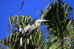 Great blue heron on nest Stock Images