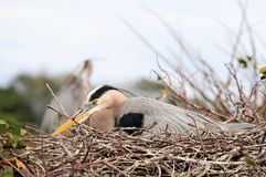 Great blue heron in nest Stock Images