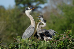 Great blue heron in the nest with chicks stock image