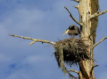 Great blue heron on nest. A great blue heron stands on a nest with Spanish moss Stock Photography